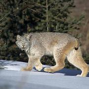 Canada Lynx, (Lynx canadensis) Montana. Adult. Rocky mountains. Winter.  Captive Animal.
