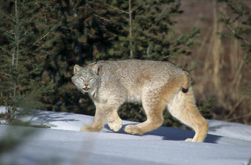 Canada Lynx, (Lynx canadensis) Montana. Adult. Rocky mountains. Winter.  Captive Animal.