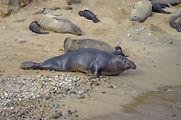Northern Elephant Seal (Mirounga angustirostris) male with females on beach at Elephant Seal overlook,  Point Reyes National Seashore, California, USA