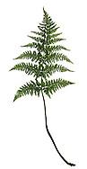 Hay-scented Fern - Dryopteris aemula