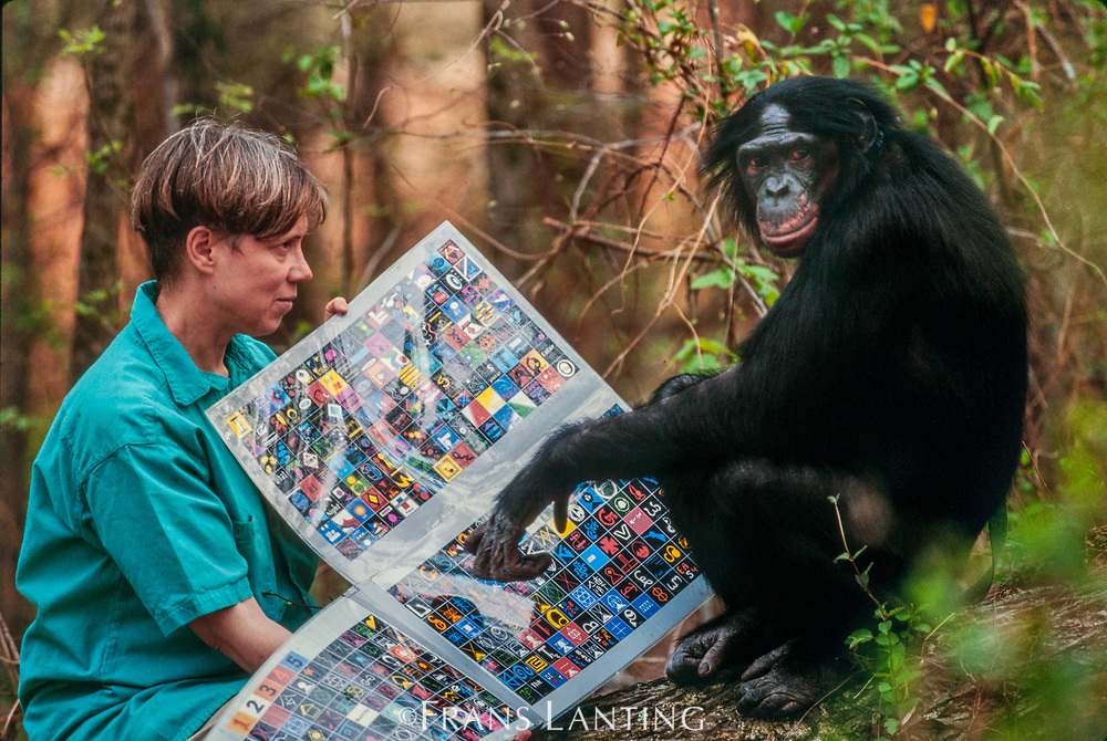 Dr. Sue Savage-Rumbaugh and bonobo female communicating by keyboard, Language Research Center, Georgia State University