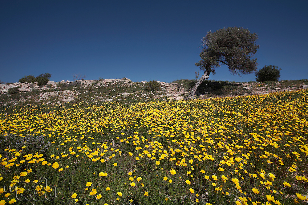 Olive Tree in a Field of Wild Daisies