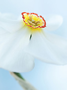 Narcissus 'Actaea' - daffodil
