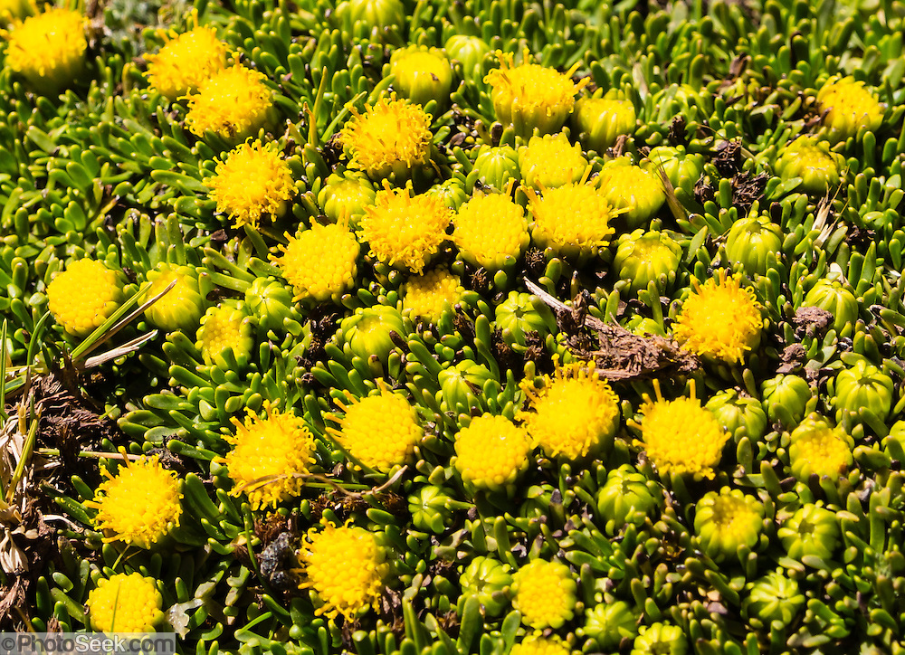 Yellow flower on Portachuelo de Huayhuash pass (4780 m). Day 4 of 9 days trekking around the Cordillera Huayhuash in the Andes Mountains, Peru, South America.