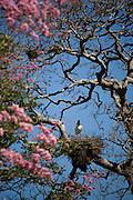 Aquidauana_MS, Brasil...Tuiuiu (Jabiru mycteria) no ninho na fazenda Rio Negro no Pantanal...A Tuiuiu (Jabiru mycteria) on the nest in Rio Negro farm in Pantanal...Foto: JOAO MARCOS ROSA / NITRO