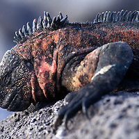 The Galapagos land iguana