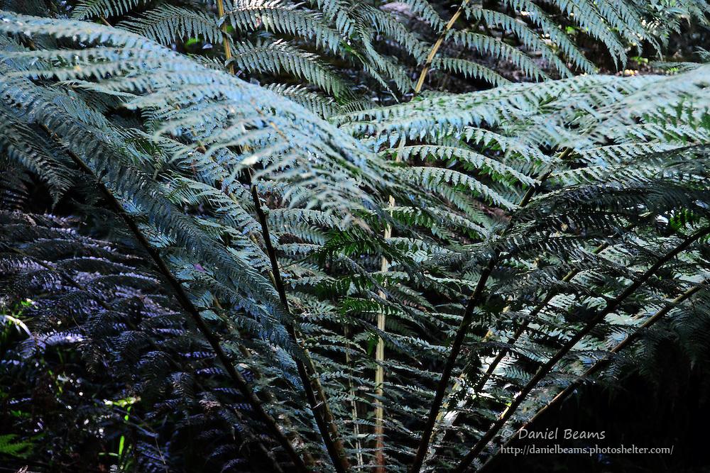La Yunga giant fern forest near Mairana, Santa Cruz, Bolivia
