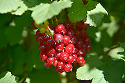 Nederland, Arnhem, 6-6-2014Op het land van een boerderij worden op biologische wijze rode bessen geteelt.Foto: Flip Franssen/Hollandse Hoogte