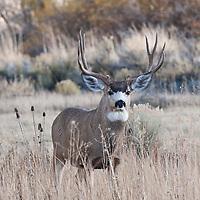 rutting muledder buck sagebrush habitat
