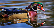 Wood Duck and drips, Baltimore County, Maryland.