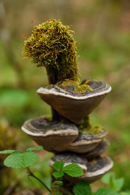Polypore fungi omn tree stump, Linden Tree Retreat & Ranch, Velika Plana, Velebit mountains Nature Park, Croatia