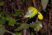 O'Shaughnessy's chameleon (Calumma oshaughnessyi, male) from Ranomafana NP, eastern Madagascar.
