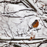 The American Robin (Turdus migratorius), which normally arrives in the spring weathers a snow storm while perched on a tree limb in Middletown, New Jersey.