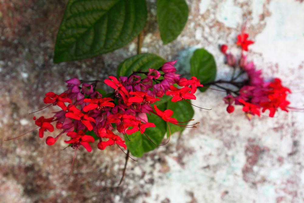 Flowers in Consolacion del Sur, Pinar del Rio Province, Cuba.