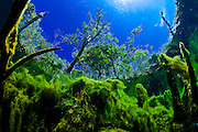 México, Quintana Roo. View of the vegetation beneath and above water at cenote Gardens of Eden.