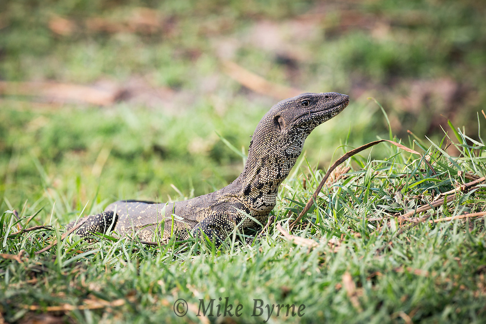 Water monitor lizard at Chobe National Park, Botswana.