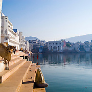 A Hindu pilgrim with a sacred cow at Gangour Ghat on the shore of Pushkar Lake, Rajasthan, India. Believed to be created by the god Brahma (The Sustainer), Pushkar Lake is one of the holiest places for Hindus.