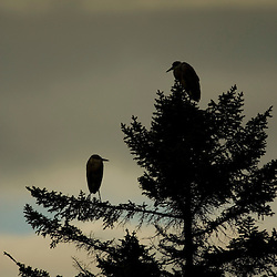 A pair of great blue herons in a spruce tree next to Prong Pond Maine USA