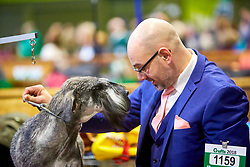 © Licensed to London News Pictures. 08/03/2018. Birmingham, UK.  Crufts dog show in the NEC. In this picture: Treuherz Alfa, a Giant Schnauzer, being groomed ahead of competition. .  Photo credit: Cliff Hide/LNP