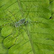 A Nursery Web Spider, Pisauridae sp.