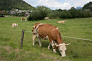 Cows grazing in a rural Slovenian field, on 18th June 2018, in Selo, Bled, Slovenia.
