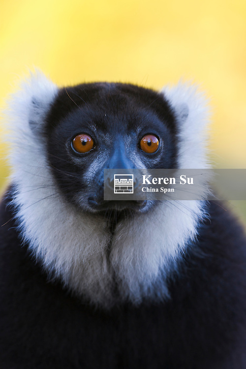 Black and white ruffed lemur (Varecia variegata), Madagascar