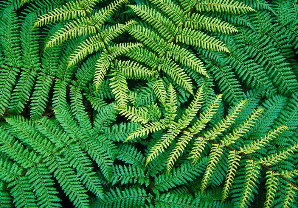 Tree fern fronds (Cyathea sp.); New Zealand.