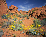 AA02016-01...NEVADA - Brittle bush in bloom near Elephant Rock in Valley of Fire State Park.