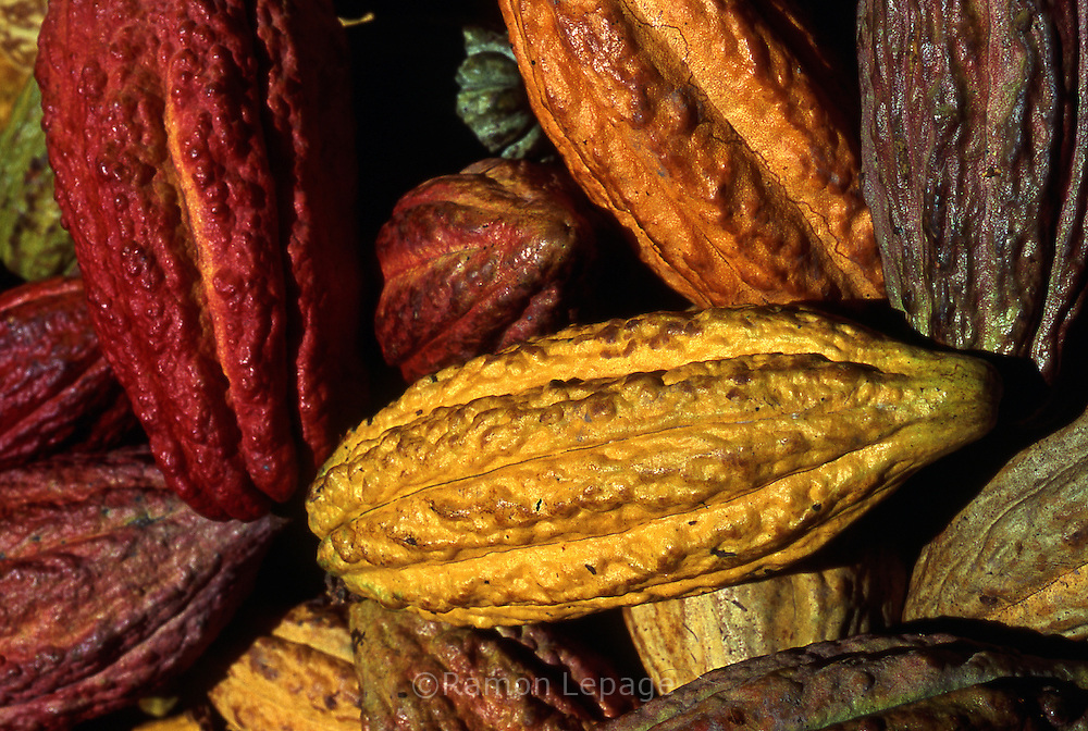 Mazorcas de Cacao.  Este fruto es la materia prima para la creación del chocolate. 2001.(Ramón Lepage / Orinoquiaphoto)  The Cocoa grows like a cob. The fruits when ripen take different colors that go from the red to orange and  purple to brown.  This fruit is the prime material for the elaboration of chocolat. 2001  (Ramón Lepage / Orinoquiaphoto)