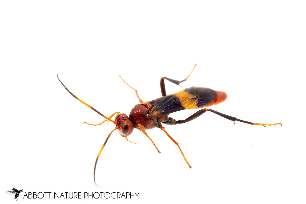 Ichneumon Wasp (Compsocryptus sp.) - male<br /> TEXAS: Hidalgo Co.<br /> Old Hidalgo Pumphouse; Hidalgo<br /> 8-Nov-2014<br /> J.C. Abbott &amp; K.K. Abbott