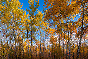 Aspen (Populus tremuloides) forest in autumn colors, Ste. Anne, Manitoba, Canada