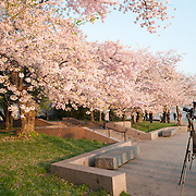 Photographers take photos of the colorful cherry blossoms around Washington DC's Tidal Basin.