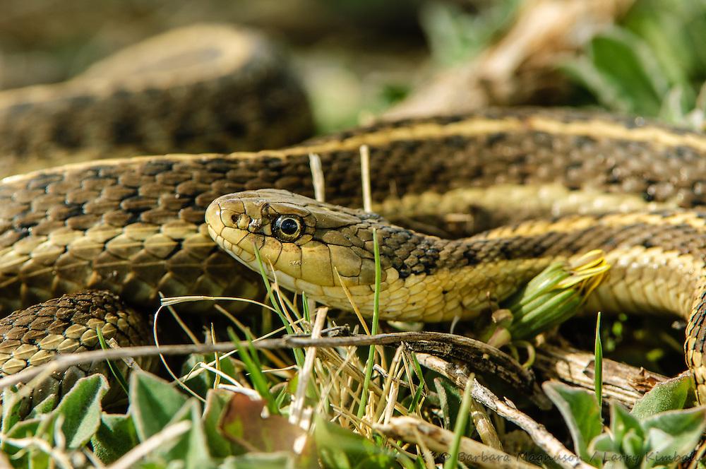 Western Terrestrial Garter Snake [Thamnophis elegans]; Alamosa NWR., Colorado