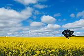 Crops - Canola