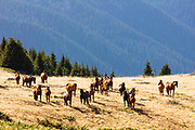 Numerous herd of horses in the mountain meadow