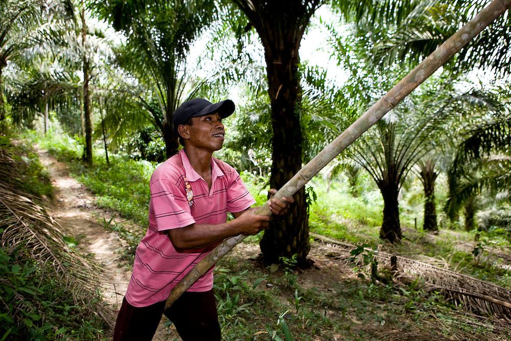 Workers harvest palm oil seeds near Perawang, Indonesia, Aug. 31, 2008..Daniel Beltra/Greenpeace