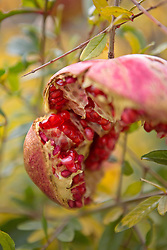 Open Pomegranate on Tree