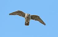 Gyr Falcon - Falco rusticolus - pale phase
