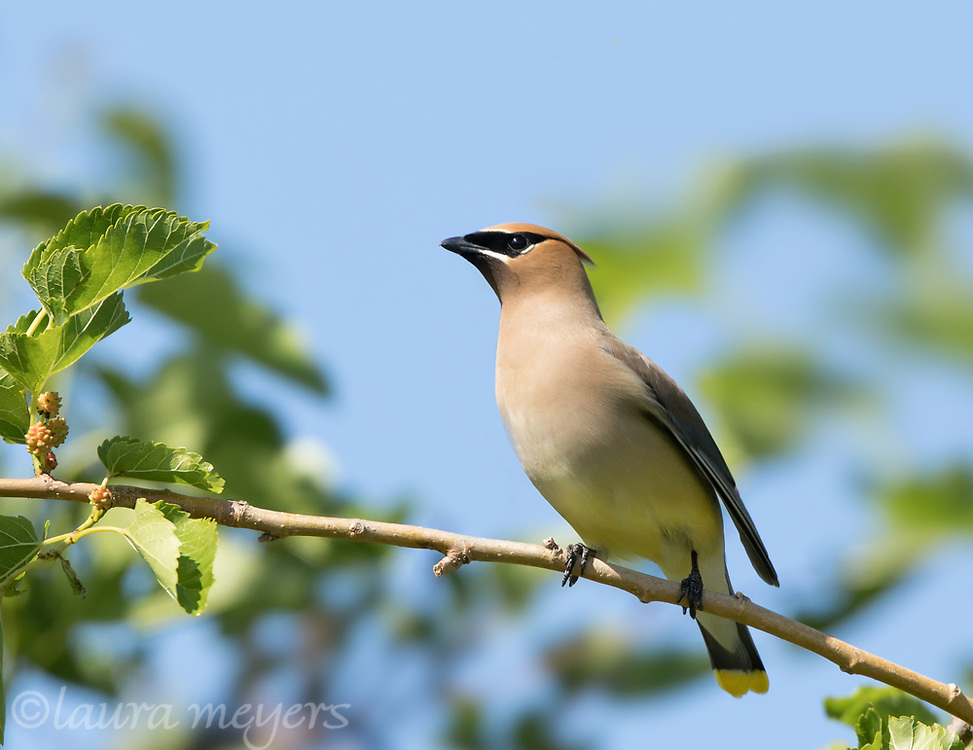 Cedar Waxwing on branch with berries and blue sky background at Jamaica Bay Wildlife Refuge.