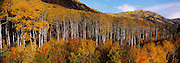 Fall Aspen Grove, McClure Pass, Colorado