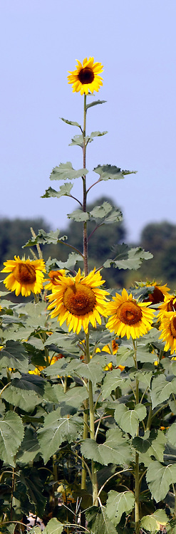 A sun flower  field on a hot  august summer morning, plays hosts to butterflies.