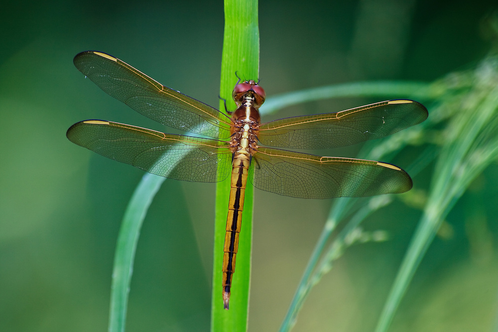 Close-up (dorsal view) of a female Needham's skimmer (Libellula needhami) perched on a blade of grass at Back Bay National Wildlife Refuge, Virginia Beach, Virginia.  One characteristic that seperates this species from the similar golden-winged skimmer is that the inner half of the costa vein is dark rather than light as pictured here.