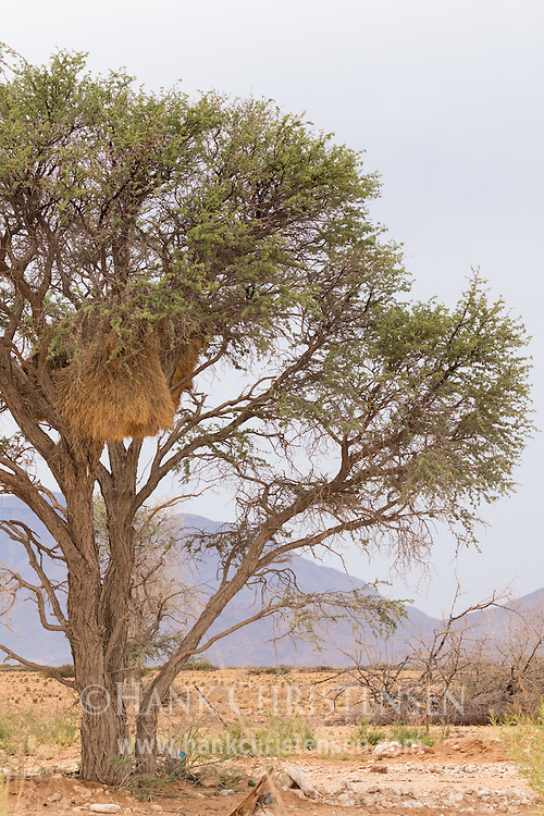The giant nest of a colony of sociable weavers hangs from several large tree branches, Namibia, Africa.