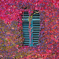 BOLZANO, ITALY - OCTOBER 14:    .A green window is surrounded by maple leaves that is turning to red Autumnal foliage on October 14, 2010 in Bolzano, Italy. Italy is currently enjoying the final warm spells of the summer, however, the shortening daylight hours and cooler weather is bringing Autumn foliage colours across the country.