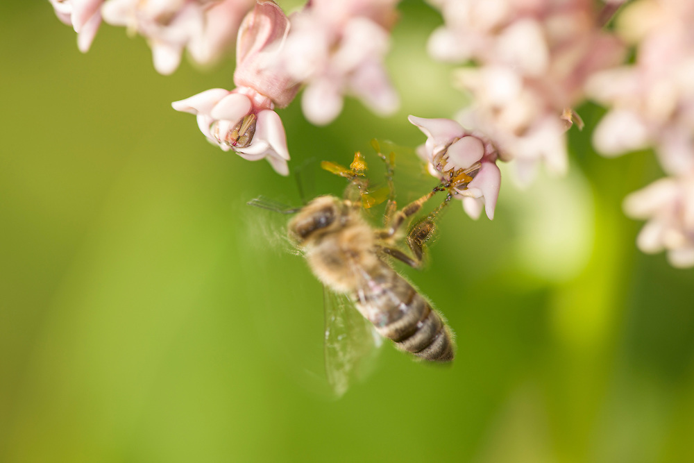 Honeybee (Apis mellifera) caught on sticky Milkweed Pollinia (pollen containing structure)
