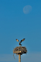 Osprey Landing on Nest under a Nearly Full Moon. Image taken with an Nikon D300 and 200 mm f/2 VR lens with TC-17 II (ISO 200, 340 mm, f/11, 1/340 sec).