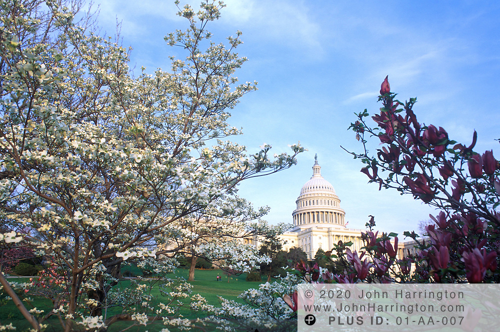 The Capitol Building as seen through blooming trees, Washington DC