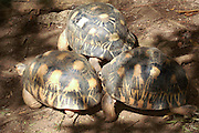 Madagascar, Nosy Komba Island Radiated tortoise (Geochlene radiata) also known as 'Sokatra'. The tortoise is noticeable for the beautiful yellow beams on its shell which sprout out from the centre of each plate. Photographed in Madagascar.