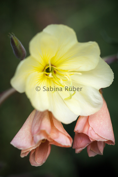 Oenothera odorata 'Apricot Delight' - evening primrose