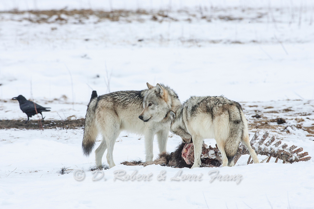 Gray wolf (Canis lupes)